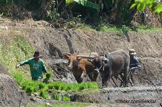 Ploughing in the rice terraces, Wonosunyo, Kecamatan Gempol, Jawa Timur