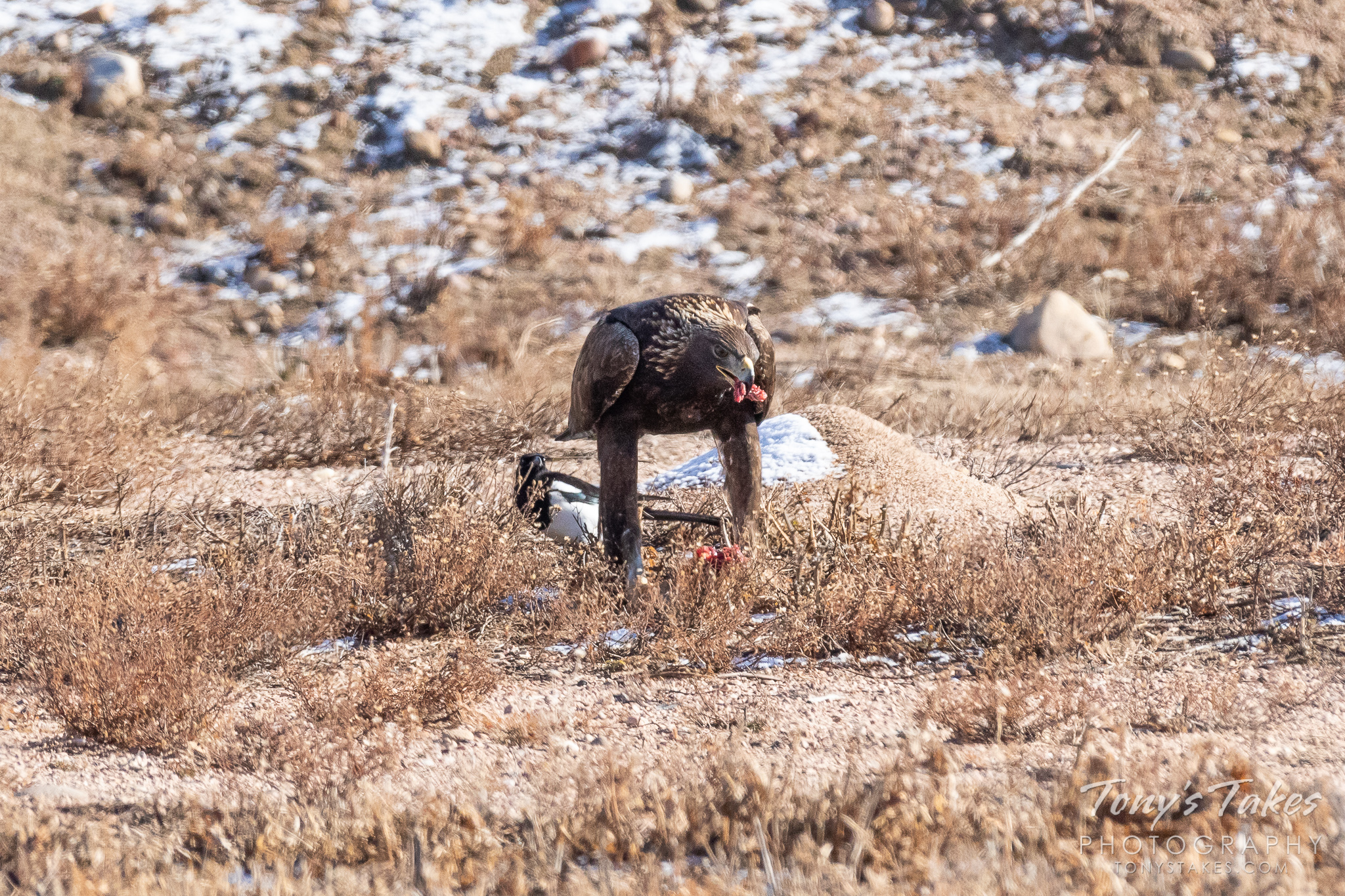 A Golden Eagle keeps watch on its meal while Magpies hope for leftovers. (© Tony's Takes)