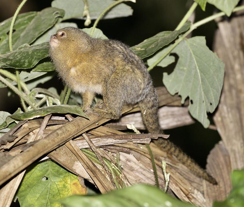 Pygmy Marmoset, Cebuella pygmaea Ascanio_Peruvian Amazon 199A7072