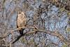 Abejero Oriental, Oriental Honey-buzzard (Pernis ptilorhynchus) by Corriplaya