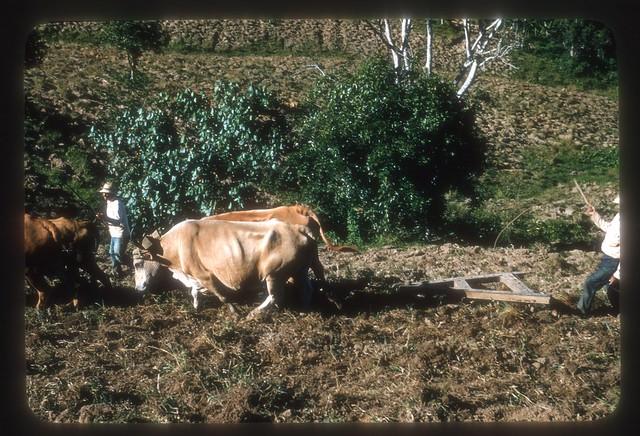 FJO402--Oxen dragging harrow in field
