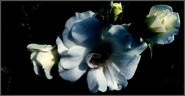 Biała róża.