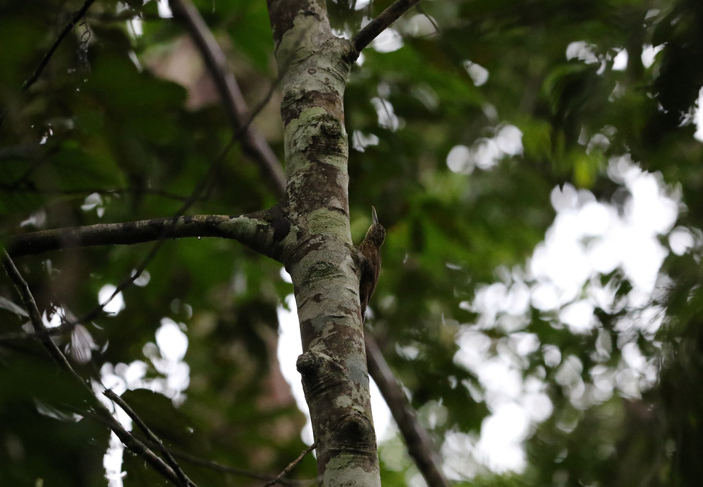 Buff-throated Woodcreeper, San Lorenzo, Peru October 2018