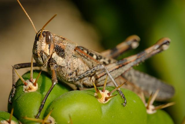 Locust 8575