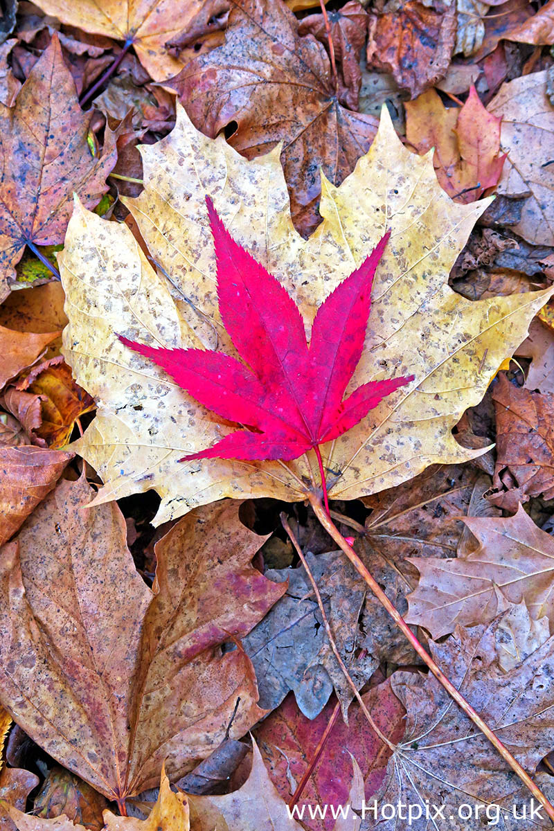 HousingITguy,Project365,2nd 365,HotpixUK365,Tone Smith,GoTonySmith,365,2365 one a day,Tony Smith,Hotpix,leaf,leaves,autumn,fall,The Fall,brown,autumn colours,autumn colors