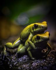 Black-Legged Poison Frogs Wrestling Pose