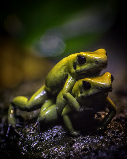 Black-Legged Poison Frogs Wrestling Pose | by PACsWorld