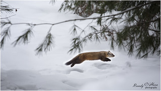 🎵 Dashing through the snow...🎵 - Pine Martin. | by ROHphotos.
