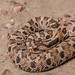 Eastern Hognose Snake - Photo (c) Andrew DuBois, some rights reserved (CC BY-NC)