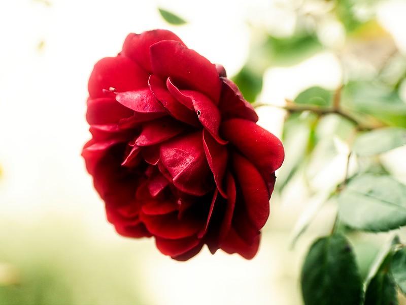 November Red Rose Bokeh - Schleswig-Holstein - Germany