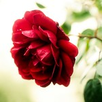 November Red Rose Bokeh - Schleswig-Holstein - Germany