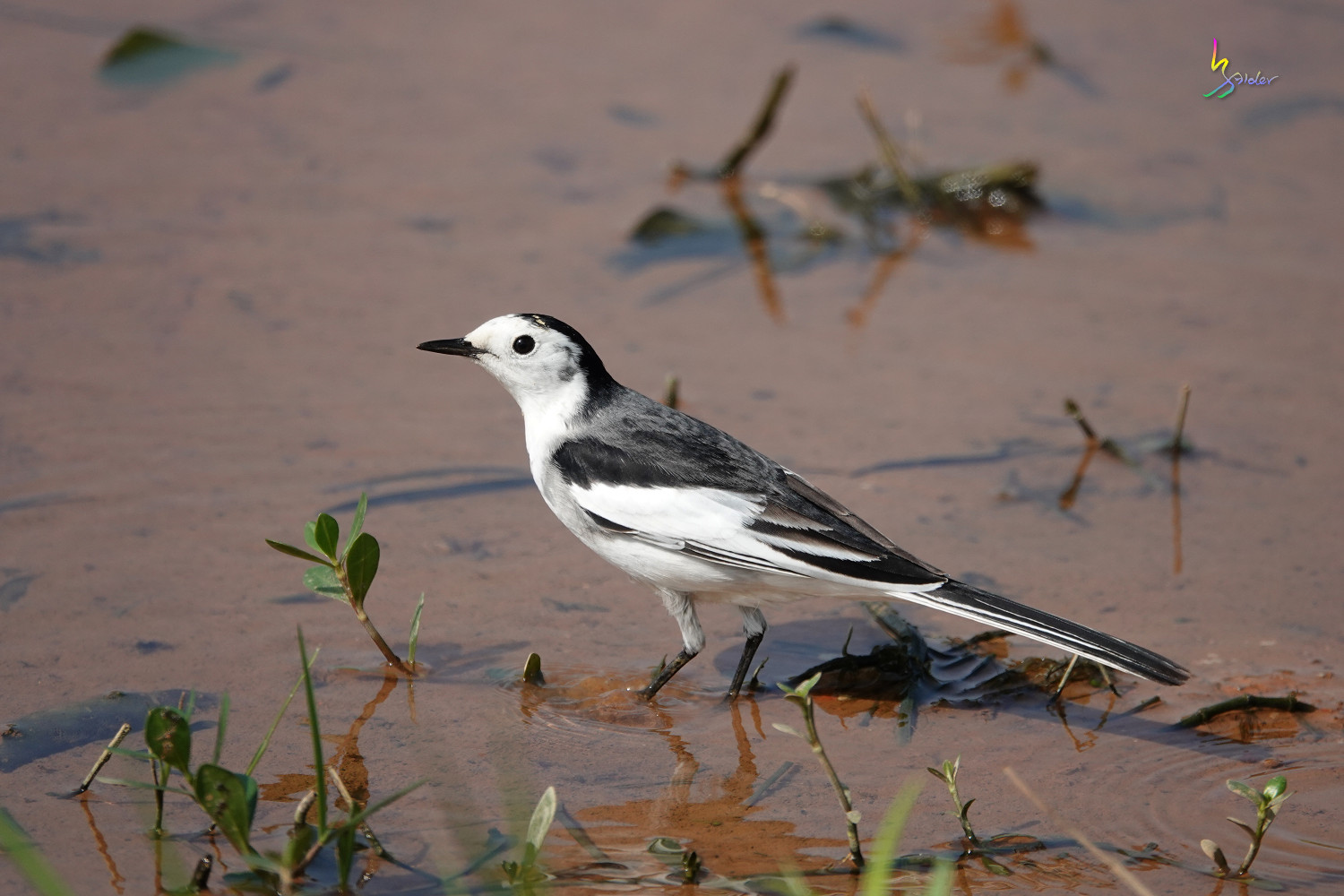 White_Wagtail_SONY_00210