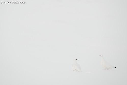 Fjellryper | by Asle Feten