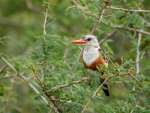 halcyonleucocephala seenfromthecar westernregion greyheadedkingfisher greyheadedkingfisherhalcyonleucocephala nature uganda buliisadistrict ug