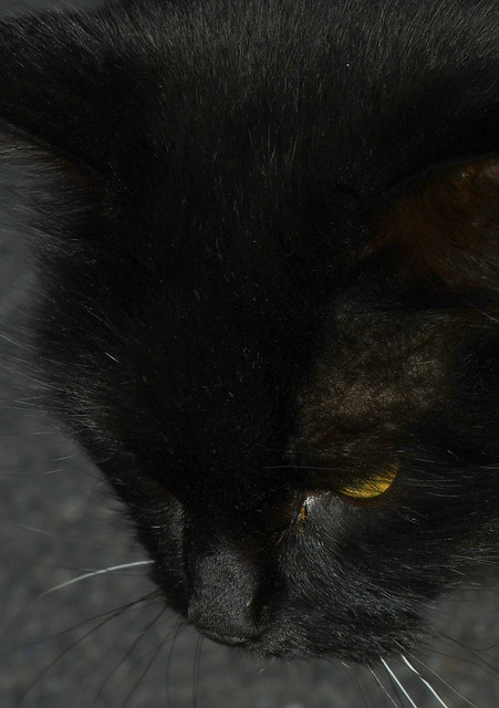The Black Forest Cat