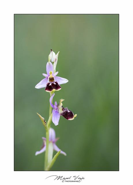 Ophrys elatior - Ophrys élevé