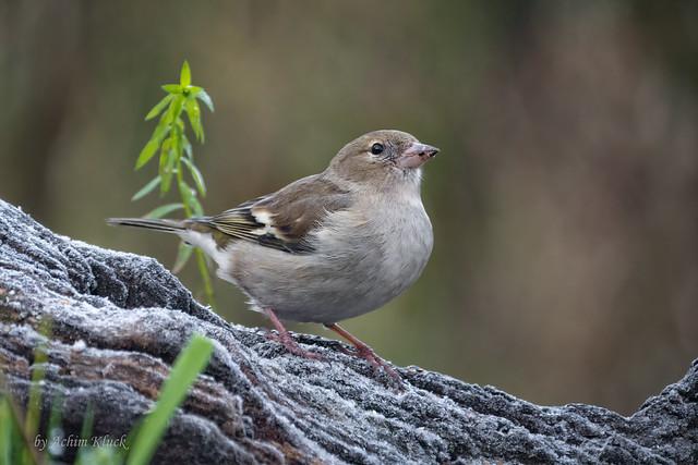 Buchfink (Fringilla coelebs) - Weibchen (Explored)