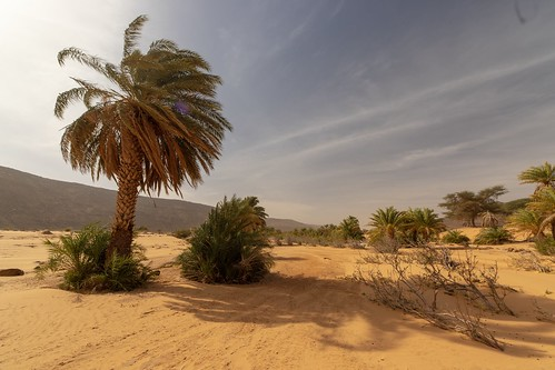 Palm tree in a oasis in the Mauritania desert | by valerian.guillot