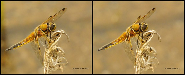 Four spotted chaser - 3d cross-view