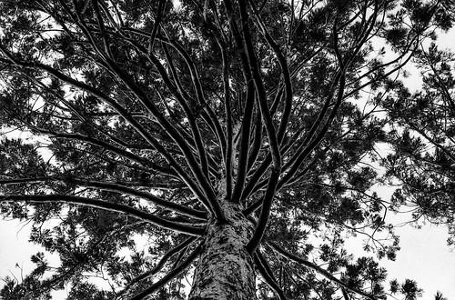 sequoia, botanical garden, vienna, austria