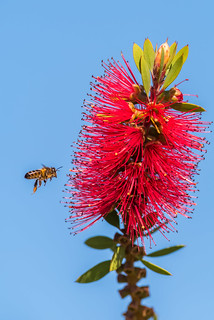 The Bee and the Bottle Brush (Callistemon) | by www.craigrogers.photography