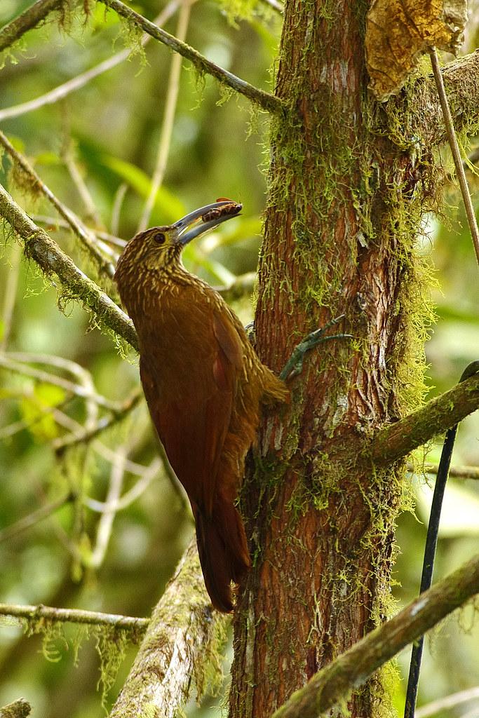 Strong-billed Woodcreeper (Xiphocolaptes promeropirhynchus).