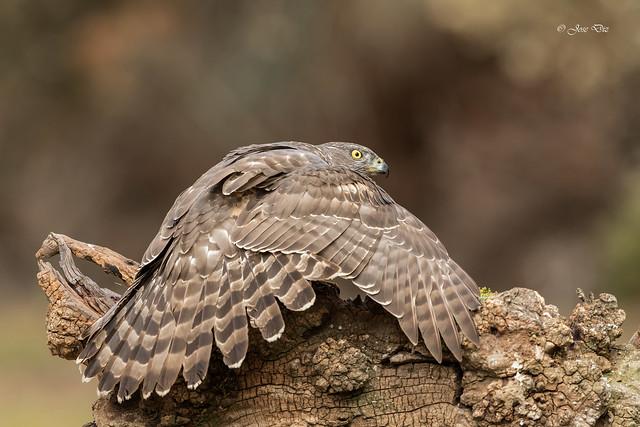 Azor joven - Accipiter gentilis
