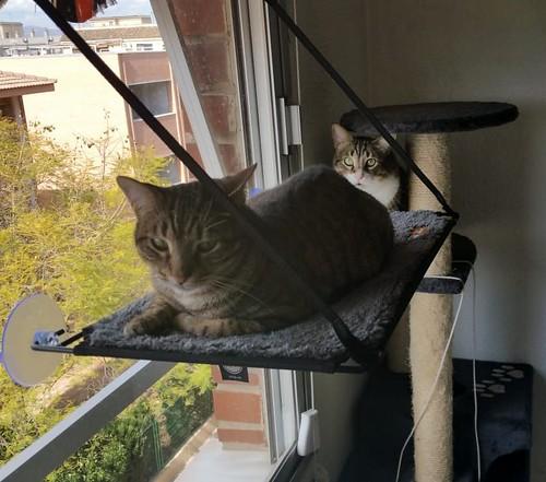 Cotton y Cobby, gatos pardo y blanquipardo inseparables, nacidos en Febrero´15, necesitan adopción Conjunta. Valencia. 44067529620_3cf25c573a