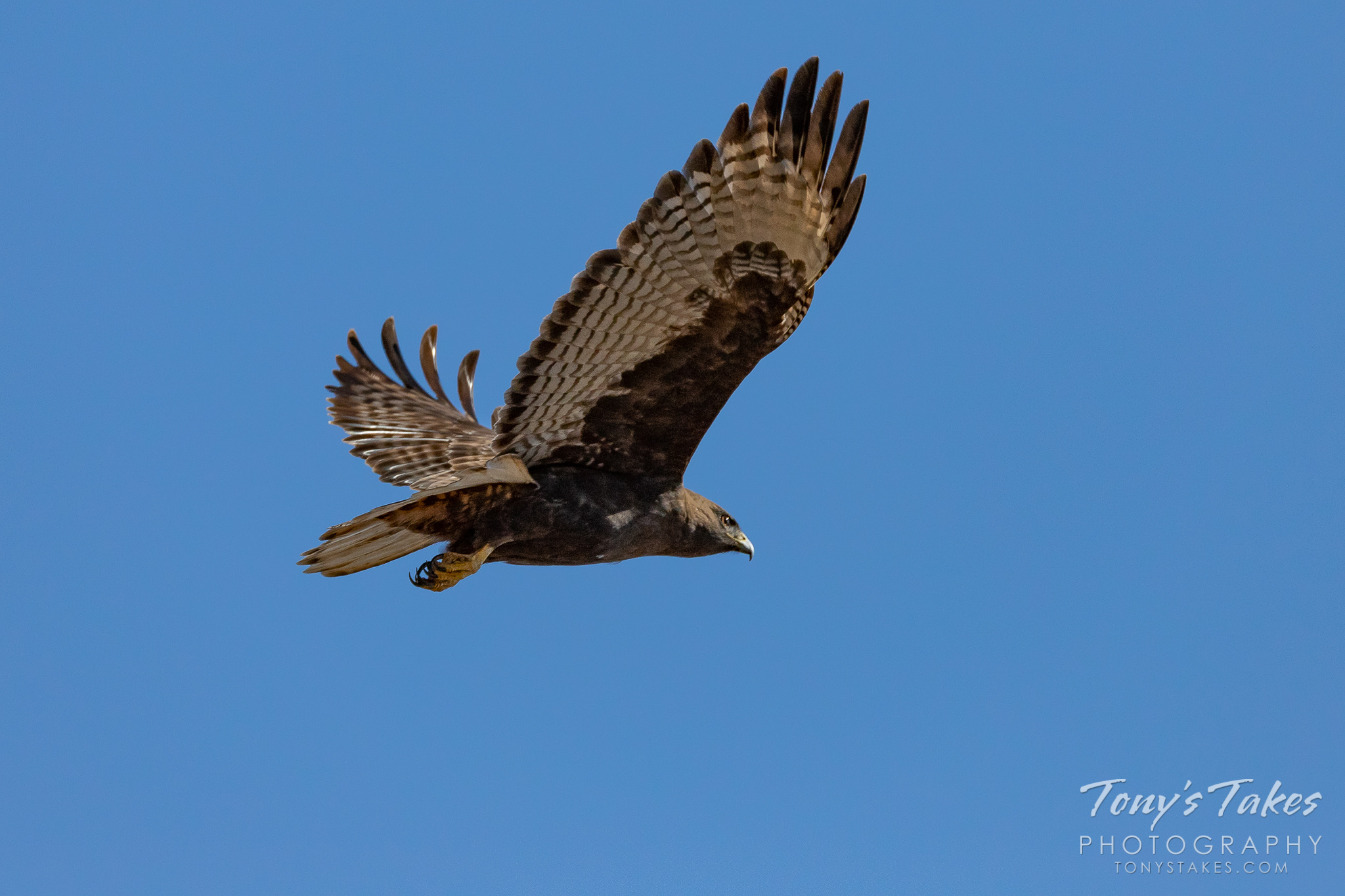 A Harlan's Red Tailed Hawk takes flight in Adams County, Colorado. (© Tony's Takes)