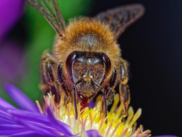 Portrait d'abeille mellifère (Apis mellifera)