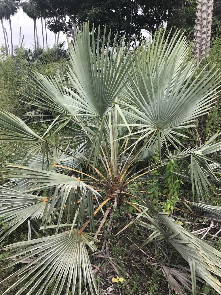 Arecaceae Copernicia prunifera (Miller) H. E. Moore Carnaubeira