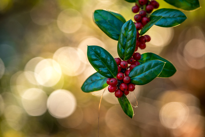 Red Berries Against a Backdrop of Bokeh Balls