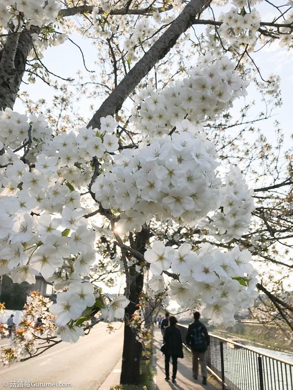 打工度假-京都生活-賞花、野餐-080