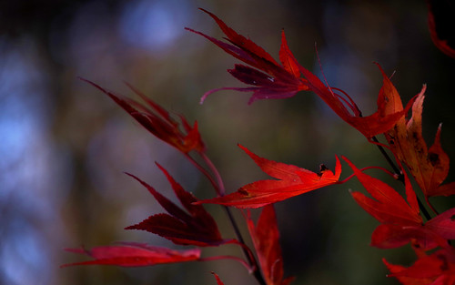 pentax k1ii k1markii hdpentaxda55300mmf4563edplmwrre ct connecticut newengland vbd trumbull leaves red bokeh handheld 2018 manualexposure fall fallcolor autumn foliage fall2018 japanesemaple