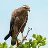 Savanna Hawk by CedricBear