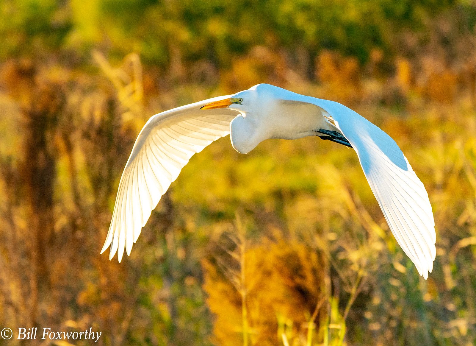 SONY ILVE-A9, Great White Egret, 2232, 1-1250, f8, ISO 1250, 100-400@ 256mm