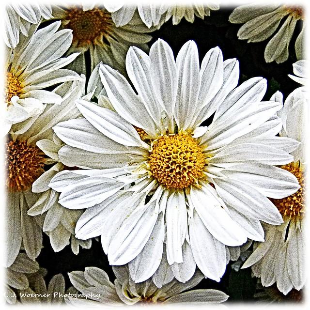 Chrysanthemum Abstraction 03
