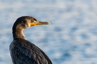 Double-crested Cormorant | by jamie_okeefe