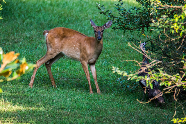 2015.08.22.3773 Deer & Turkey (Explored)