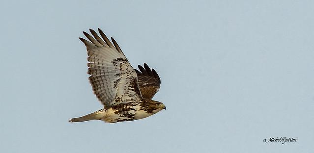 Buse à queue rousse - Red-tailed Hawk- (3)