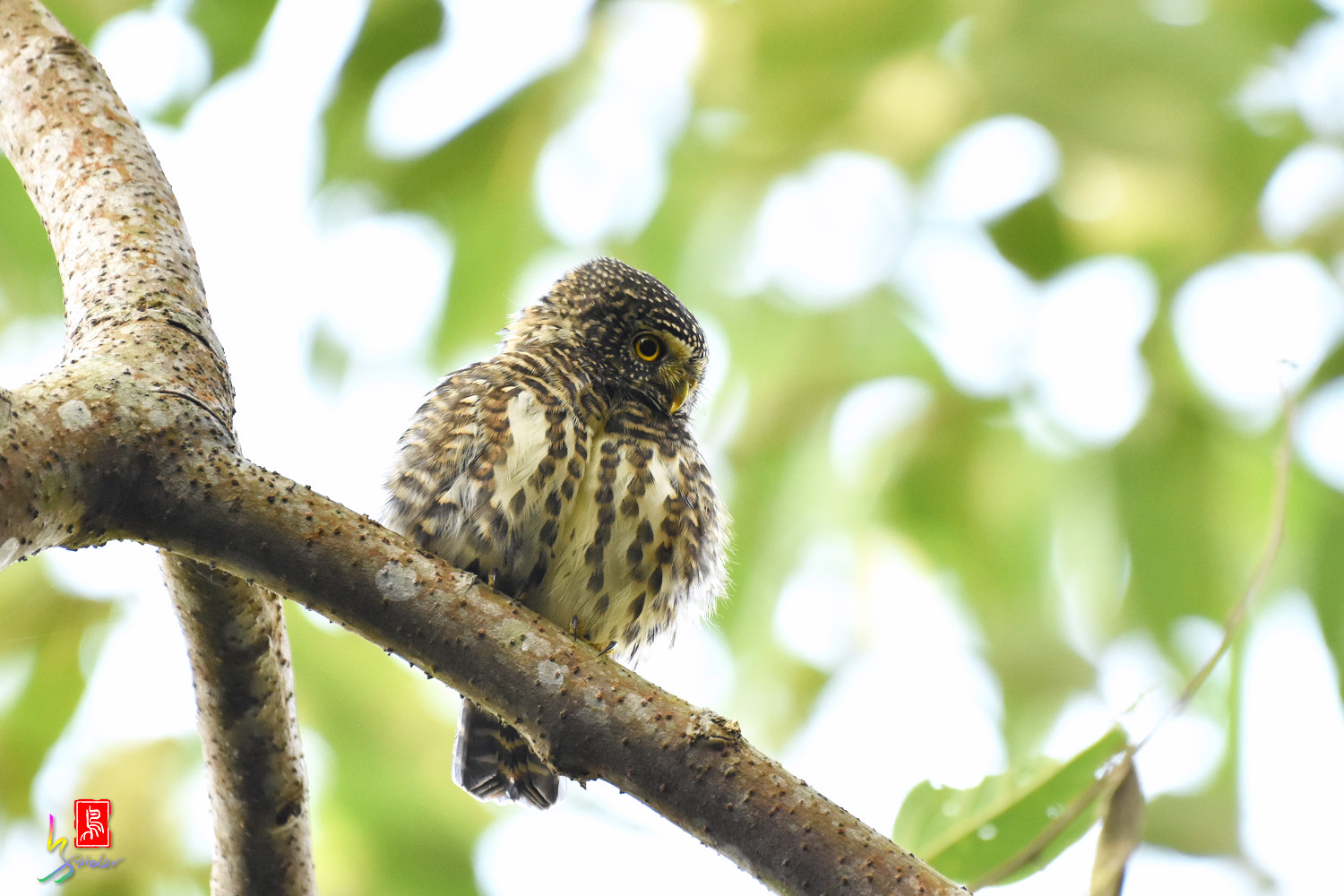 Collared_Owlet_4653