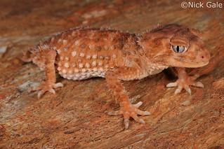 Centralian Knob-tailed Gecko (Nephrurus amyae)   by Nick Gale