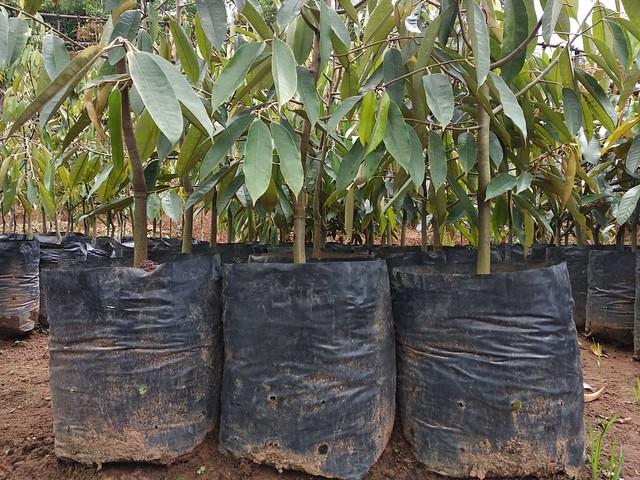 buah durian mataqu farm kampung quran mataqu