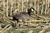 Branta hutchinsii (Cackling Goose) - Skagit Valley, WA by Nick Dean1