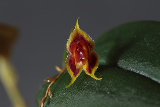 Lepanthes zamorensis | by F.K. Pictures