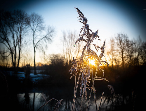 Reeds | by aiddy