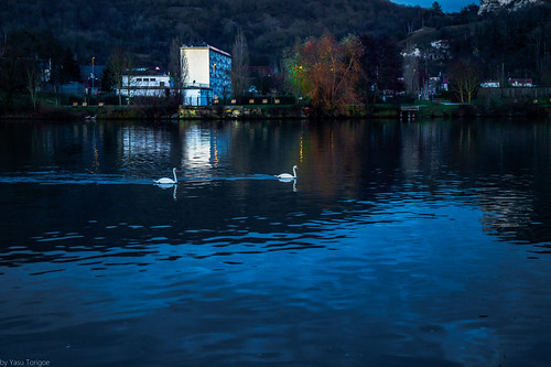 Couple of Swans Swimming in the Seine River, Vernon, France-82a