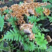 resurrection fern & fungi