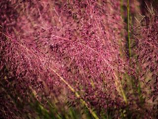 Pink grass (02)   by cizauskas