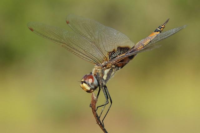 Common Glider Dragonfly (Tramea loewii)